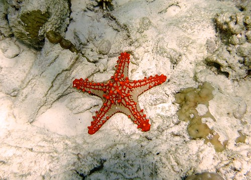 Never seen a starfish like this. Looks like someone took a cake decorating class all over it.