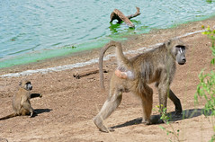 Chacma Baboons (Papio ursinus) on the shore of Sunset Dam