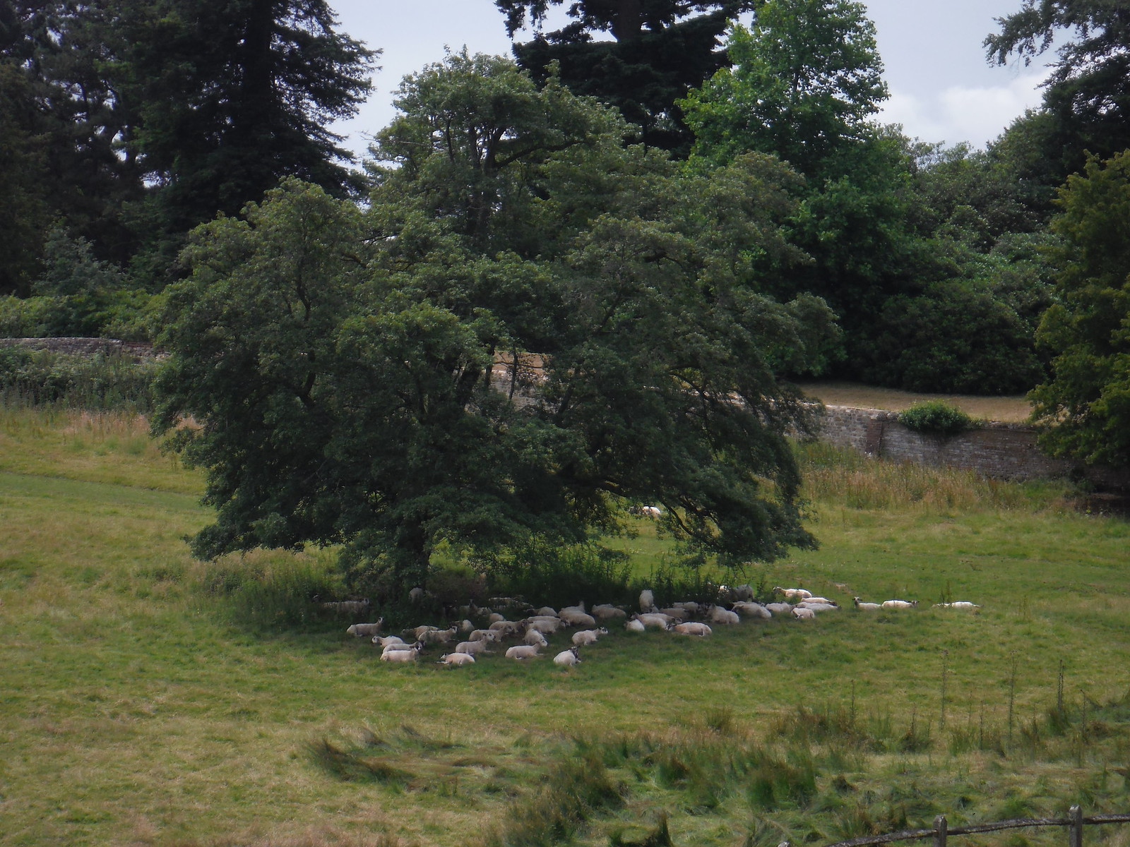 Sheep under Tree, Blackdown Park Estate SWC Walk 48 Haslemere to Midhurst (via Lurgashall or Lickfold)