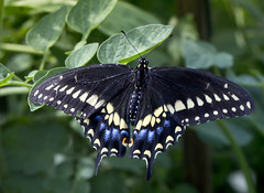 Eastern Black American Swallowtail Butterfly on tomato plant