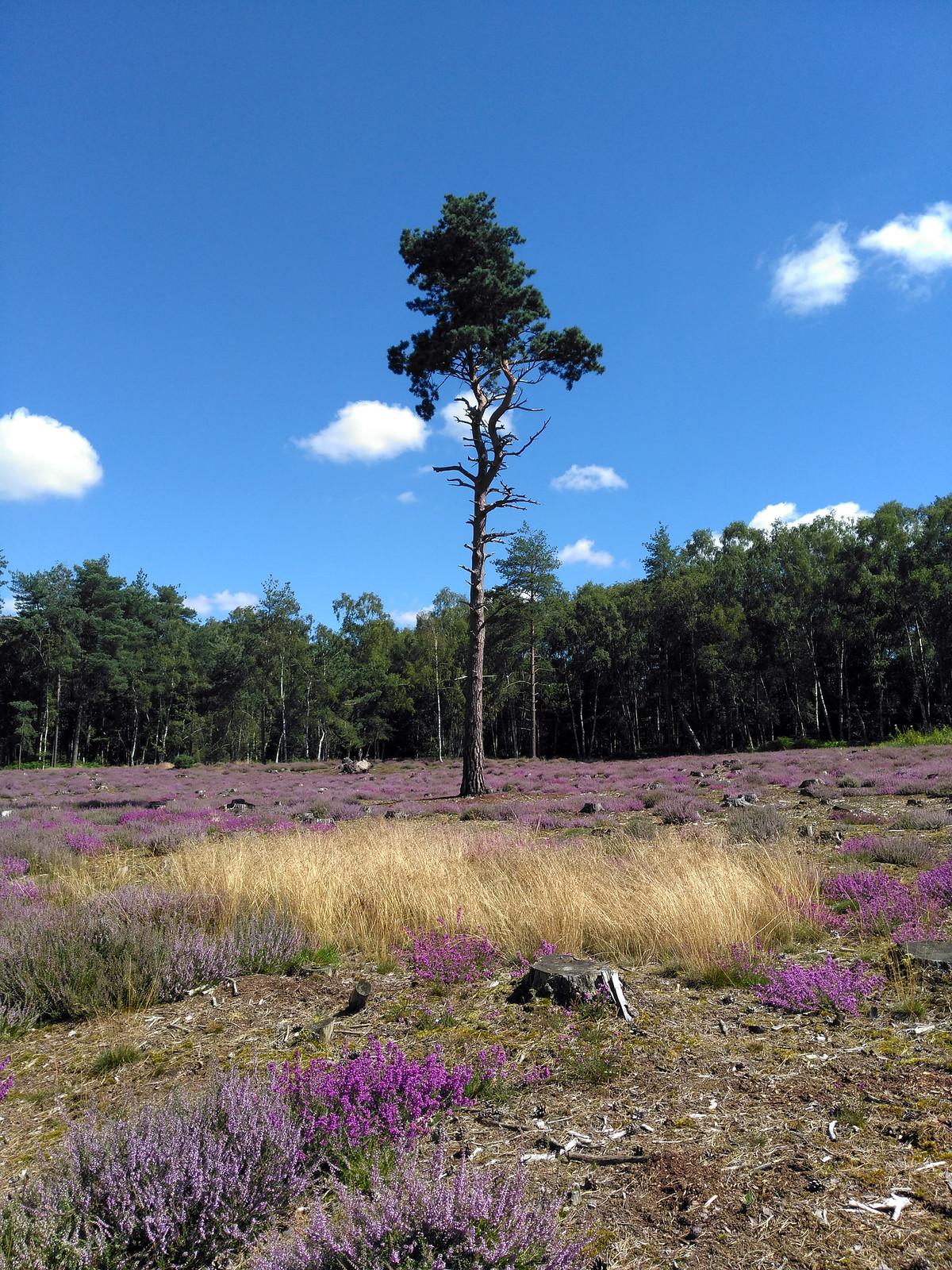 Field of Heather
