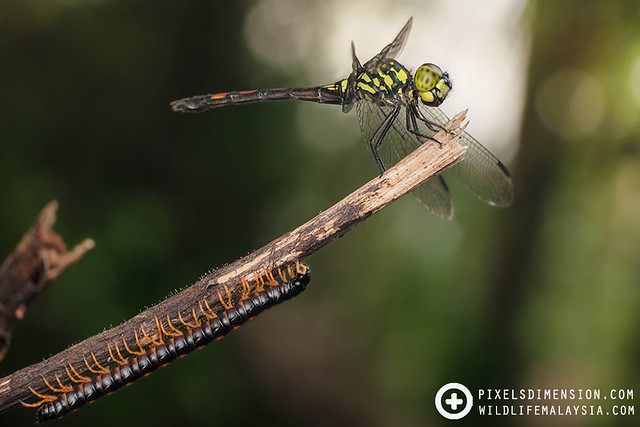 2-in-1: Dragonfly and millipede