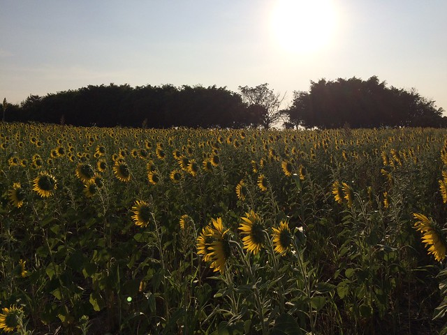 Lop Buri Sunflower Fields