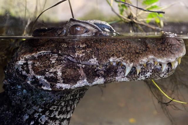 Croc Grin