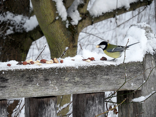 Winterfütterung: Kohlmeise mit Nuss