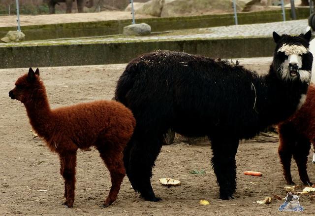 Berliner Zoo Orang Utan Rieke 22.02.2015   5