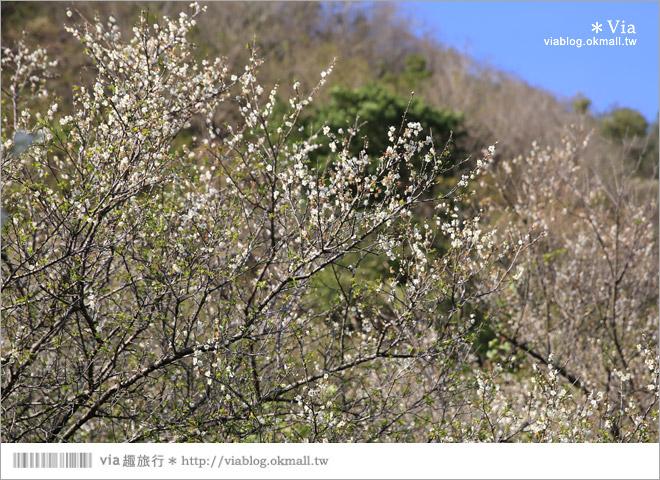 【南投梅花秘境】仁愛鄉「西伯梅園」~和互助國小梅園來個賞梅一日遊20