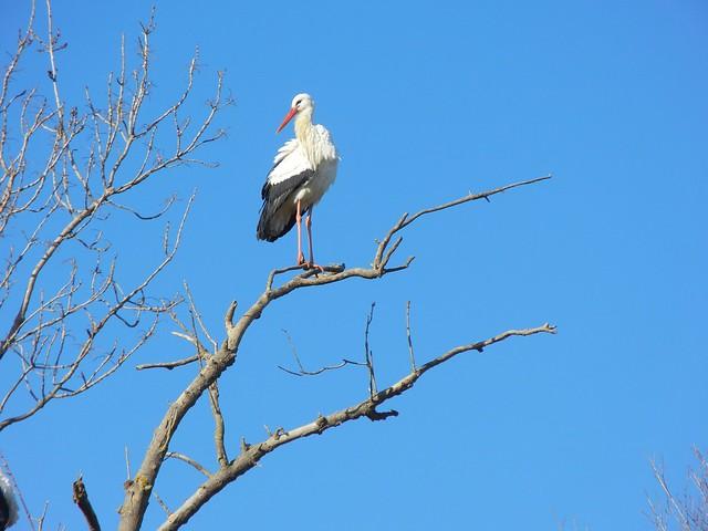 White Stork, Aiguamolls