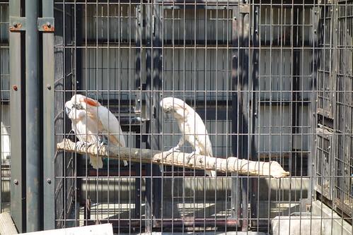 """parrot_4 """"大宮公園小動物園"""" で撮影したオウム達の写真。 檻の中の止り木の上で右側から2羽の雄のオウムがいやらしい目つきで左に居る雌のオウムに近付いて行こうとしている場面。 雌のオウムは嫌がって避けている。"""
