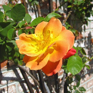Climbing Joseph's Coat rose