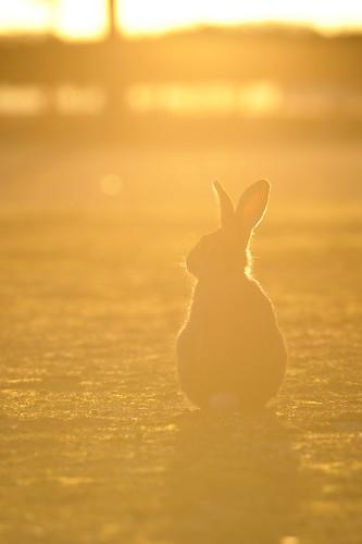 The wild rabbit in Okuno-jima island