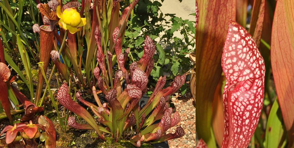 Sarracenia scarlett belle