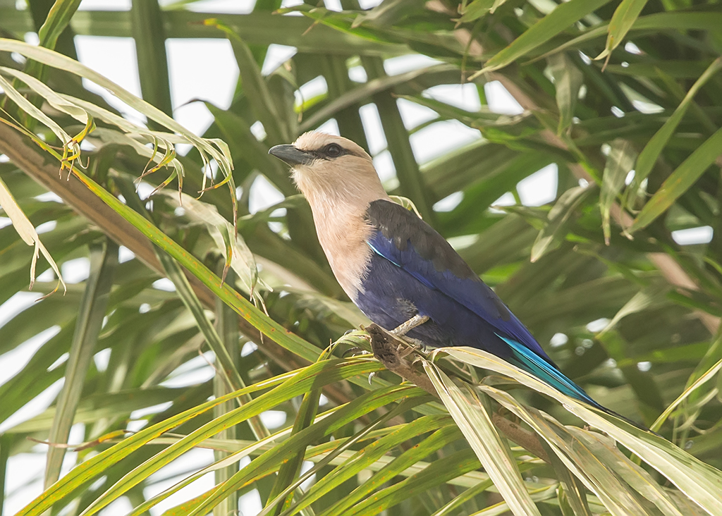 Blue-bellied  Roller  Gambia