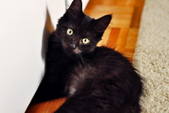 domestic long-haired cat, animal, small to medium-sized cats, pet, black cat, bombay, cat, carnivoran, whiskers, black, nebelung, domestic short-haired cat,