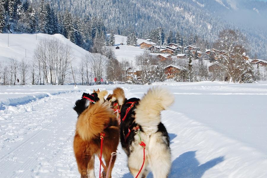 Balade chiens de traineau chiens de traineau (8)