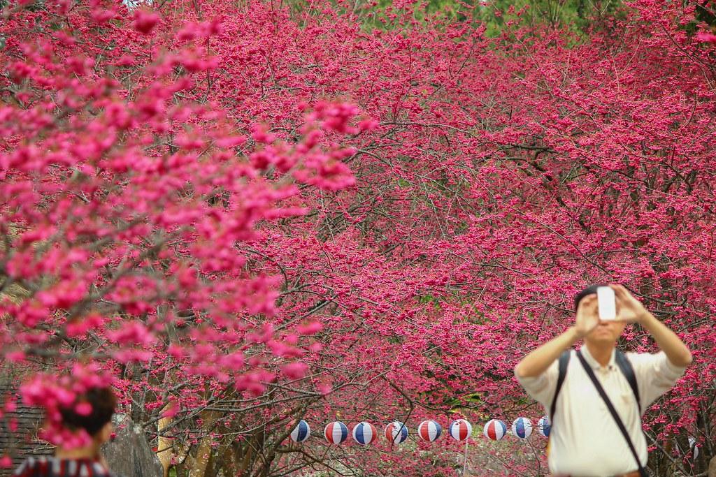 九族櫻花祭 (144)