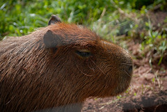 guinea pig(0.0), flower(0.0), animal(1.0), grass(1.0), rodent(1.0), pet(1.0), fauna(1.0), close-up(1.0), capybara(1.0), whiskers(1.0), wildlife(1.0),