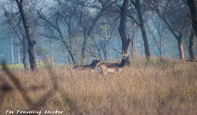 Blackbuck (4)