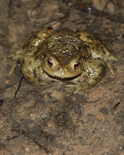 Common Toad, Bufo bufo - Ain (01), France