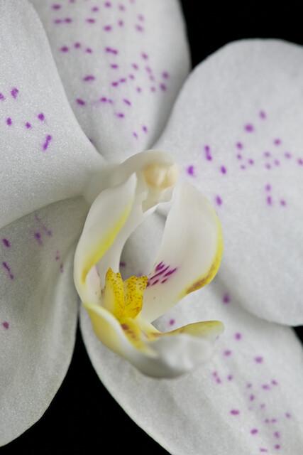 Phalaenopsis Taïda Snow 16535331916_2e49b5267e_z