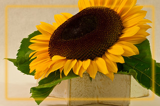Short Petal Sunflower