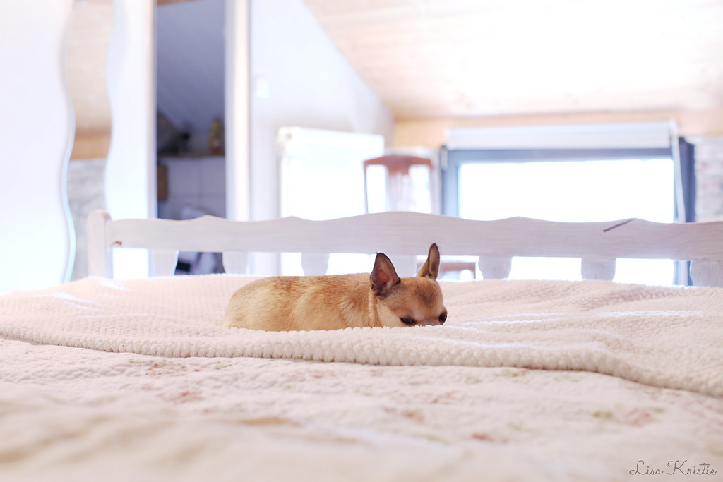 cute little chihuahua tiny dog sleeping on bed blanket cream tan brown