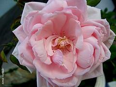 Domingo-rosa 2