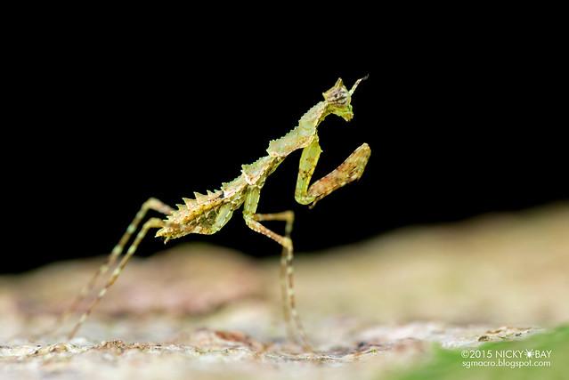 Moss mantis nymph (Haania sp.) - DSC_3607
