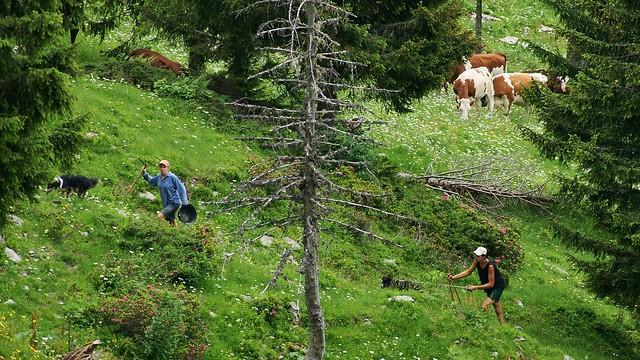 Montée des Vaches en Alpage 2016