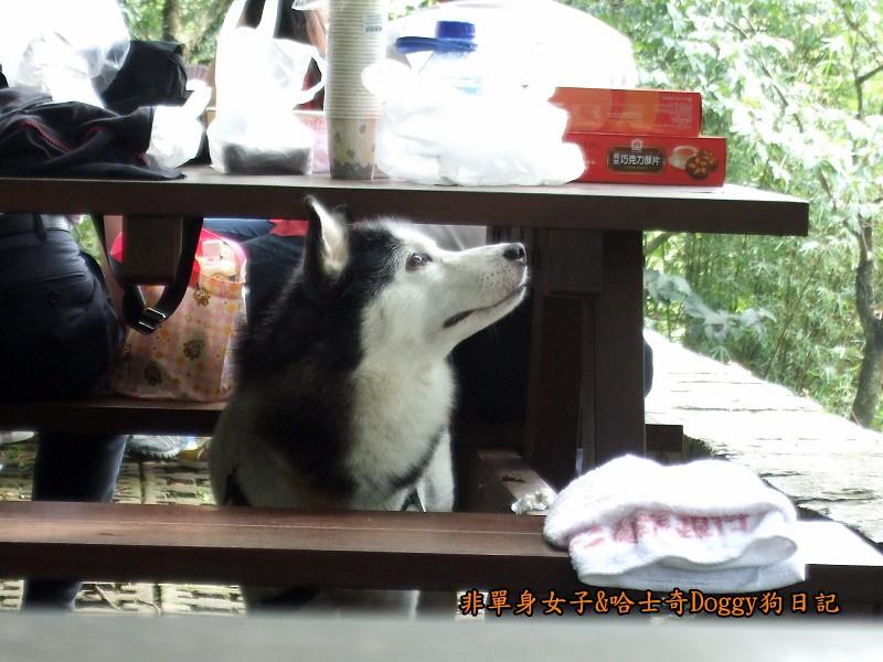 哈士奇Doggy2012陽明山二子坪04