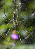 Giant-Indian-Wood-Spider, Wayanad, India by Gail Baird1