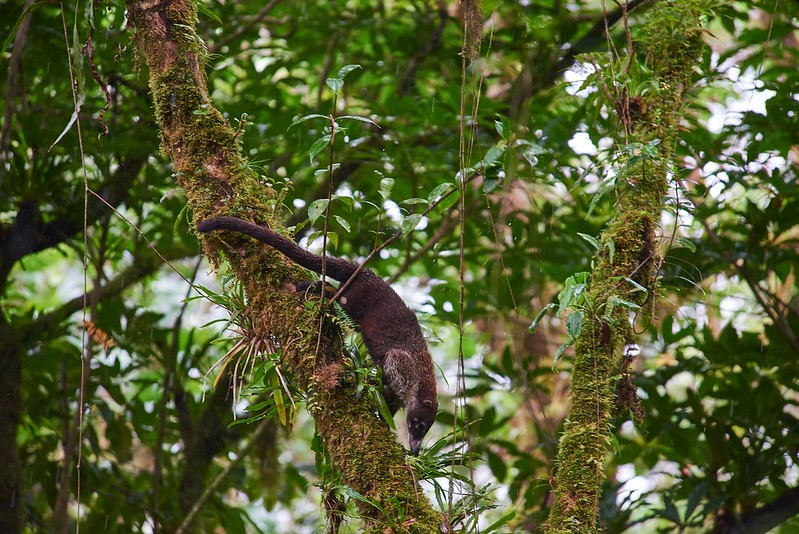 Coati - Monteverde