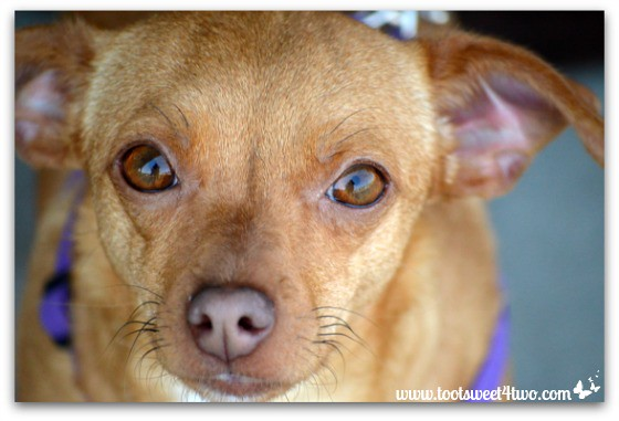 Chiweenie-close-up