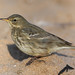 Rock Pipit (Anthus petrosus) by markkilner