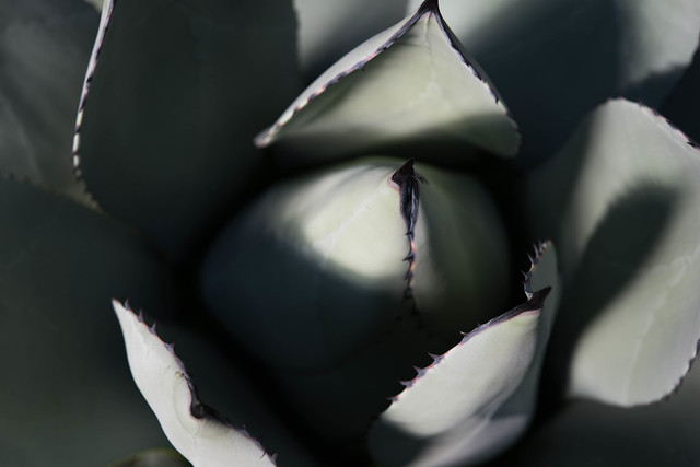 Header of Agave parryi var. huachucensis