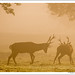 Deer at dawn -2910 by opal's mum
