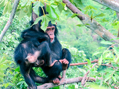 chimpanzee, animal, rainforest, monkey, mammal, fauna, spider monkey, common chimpanzee, new world monkey, jungle, wildlife,