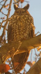 LONG-EARED OWL viewed from inside a mirrored 1st floor window of the Ohio Department of Job and Family Services at 4200 East 5th St south of the Columbus airport. Original photo.