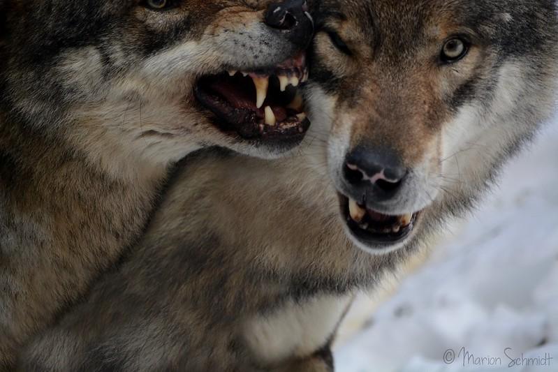 Wolves's Smile