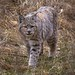 Bobcat in Winter Coat, Cook's Meadow (Yosemite National Park) by Robin Black Photography
