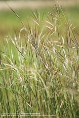 prairie, field, grass, paddy field, meadow, grassland,