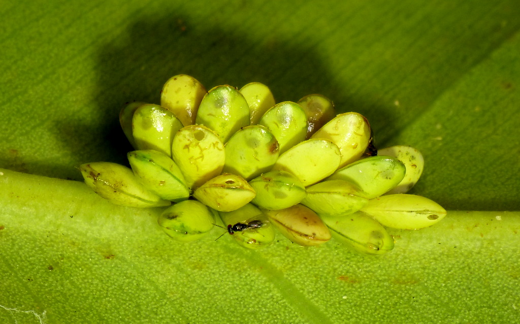 Eggs of ?, Yasuni National Park