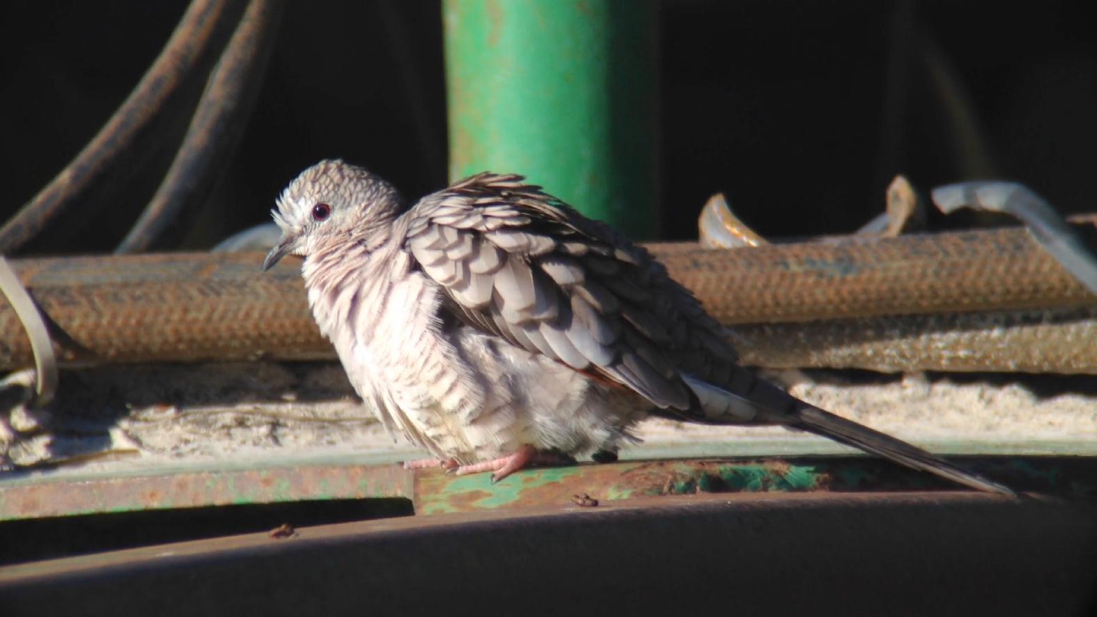 Inca Doves Privett Store Road Miller County GA 011015 5 360