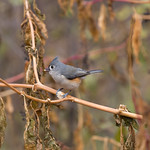Tufted titmouse in Central Park