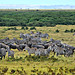 Amboseli Herbivores