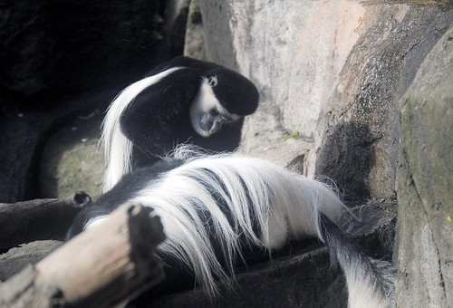 Grooming Colobus Monkeys