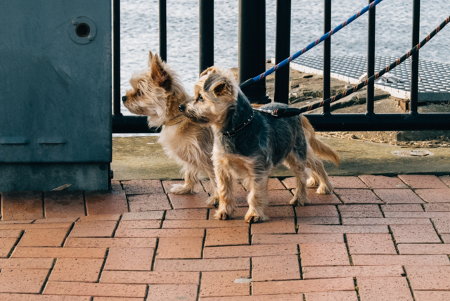 two little terrier dogs
