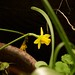 daffodil 20150302