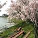 天池の桜(糠地)