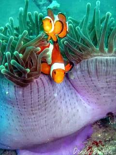 Anemone e pesci pagliaccio